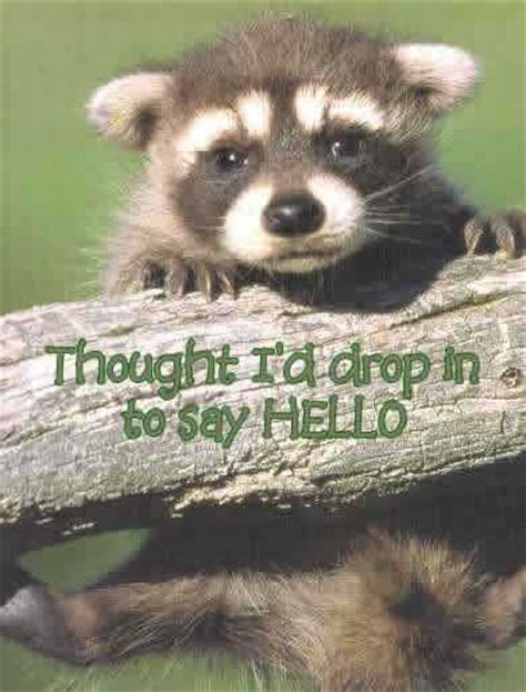 thought i'd drop in to say hello baby raccoon Facebook