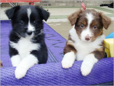All About Dogs Images: Mini Australian Shepherd Mn