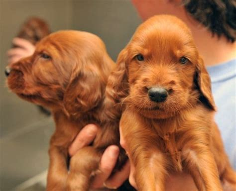 20 Irish setters, including 10 puppies, given up for
