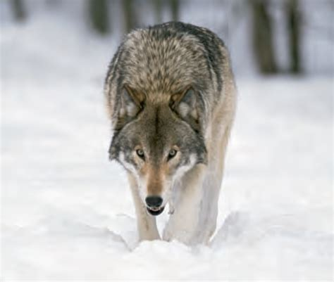 Animal Facts: Wolf | Canadian Geographic