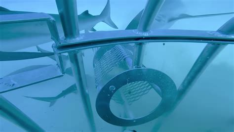 Grisly experiment reveals whether sharks prefer human or
