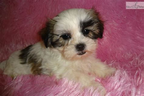 Sophie, female MalShi puppy available for adoption | Mal