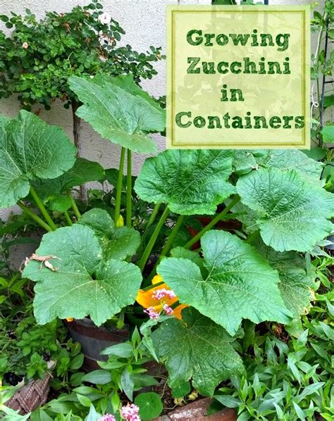Sunny Simple Life: How to Grow Zucchini in Containers