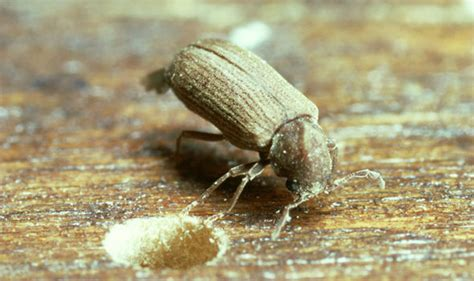 Woodworm treatment: Signs to look out for and how to get